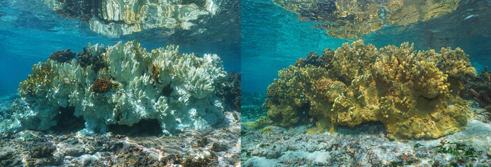 Foto auf AluDibond Riff Fire coral bleaching in the Pacific ocean, healthy coral on the right part and bleached coral 6 months later on the left, French Polynesia, Oceania