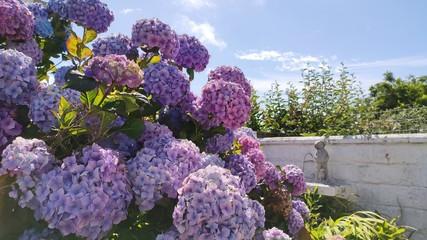 Deurstickers Hydrangea beautiful hydrangea in the garden