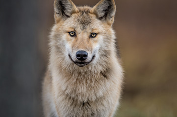 Poster de jardin Loup Сlose-up portrait of a wolf. Eurasian wolf, also known as the gray or grey wolf also known as Timber wolf. Scientific name: Canis lupus lupus. Natural habitat.