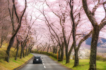 Beautiful view of Cherry blossom tunnel during spring season in April along both sides of the prefectural highway in Shizuoka prefecture, Japan.