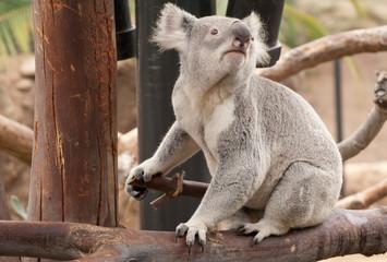 Canvas Prints Koala koala on a tree