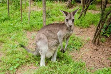 Foto op Aluminium Kangoeroe Australian kangaroo sitting on a green grass