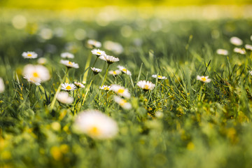 Summer nature background, peaceful nature scene. Beautiful field of daisy flowers in spring. Blurred abstract summer meadow with bright blossoms