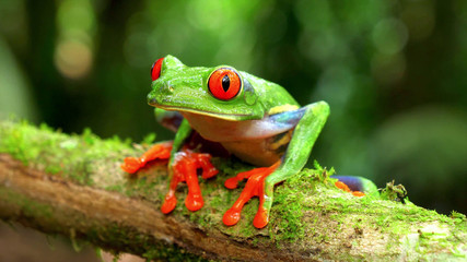 Photo sur Toile Grenouille agalychnis callidryas monkey frog