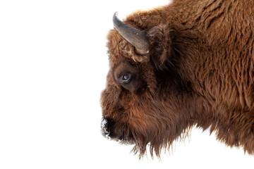 Bison stierenkop met bruine vacht en hoorns op een witte geïsoleerde achtergrond.