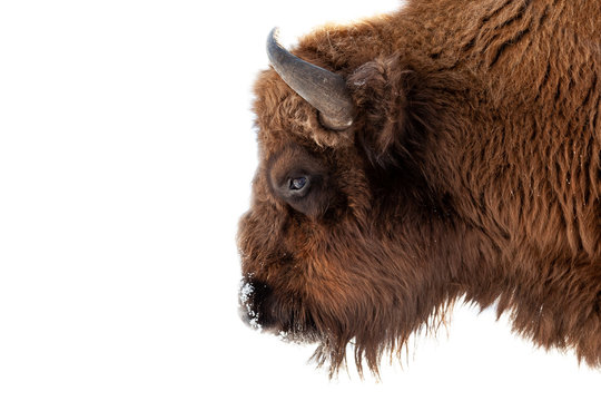 Bison bull head with brown fur and horns on a white isolated background.
