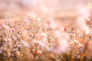 beautiful gras flower field with sunset light background