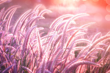 Keuken foto achterwand Lichtroze beautiful grass flower field with sunset light in purple tone background