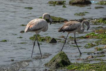 Junge Flamingos am Strand von Paracas