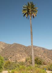 Chilenische Palme im Nationalpark La Campana bei Valparais