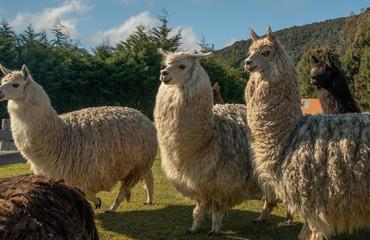 Lamas auf einer Farm bei Puerto Montt