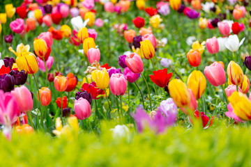 Beautiful lush field of tulips in spring