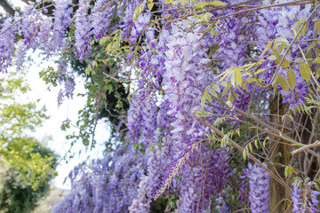 Wisteria purple flowers and green leaves