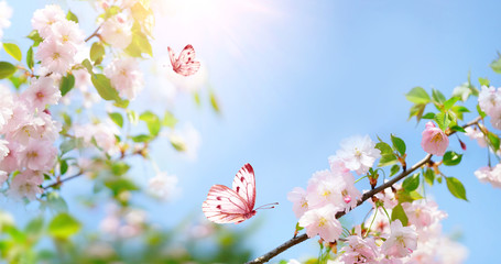 Fotorollo Himmelblau Beautiful pink butterfly and cherry blossom branch in spring on blue sky background, soft focus. Amazing elegant artistic image of spring nature, frame of pink Sakura flowers and butterfly.