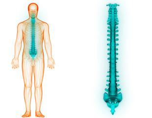 Human Skeleton System Vertebral Column Anatomy