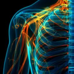 Human Skeleton System with Nervous System Anatomy