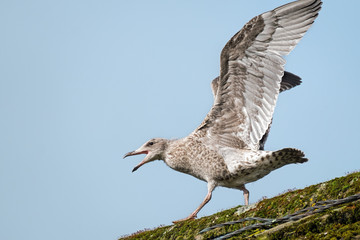 Herring gull juvenile on a roof stretching his wings and squawking before attempting to fly