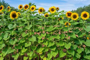Fotobehang Zonnebloem Vibrant sunflowers growing in a country garden.