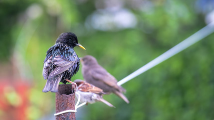Starling on a washing line with a fledgling starling and a sparrow in the background