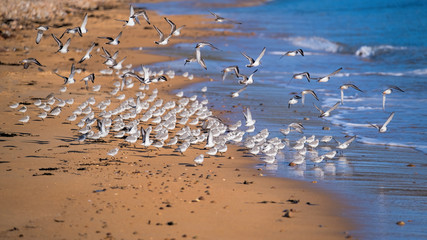 Sanderlings and Ringed plover flocking together on the shores of a sandy beach