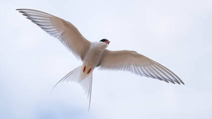 Arctic tern flying close showing his wings and plumage