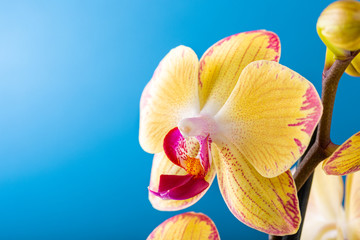 Spoed Foto op Canvas Orchidee Most commonly grown house plants. Close up of orchid flower yellow bloom over blue background. Phalaenopsis orchid. Botany concept with copy space.