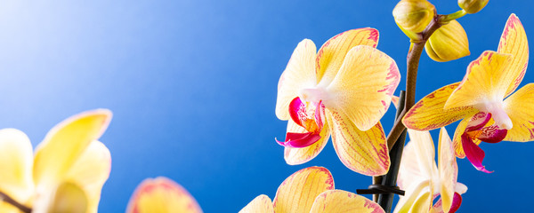 Tuinposter Orchidee Most commonly grown house plants. Close up of orchid flower yellow bloom over blue background. Phalaenopsis orchid. Botany concept with copy space, banner.