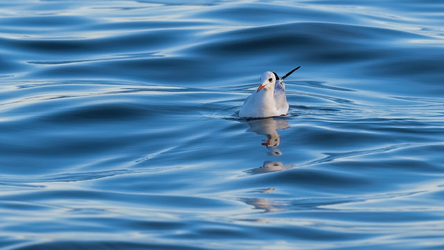 Black headed gull swimming on the ocean with reflections in blue rippled water