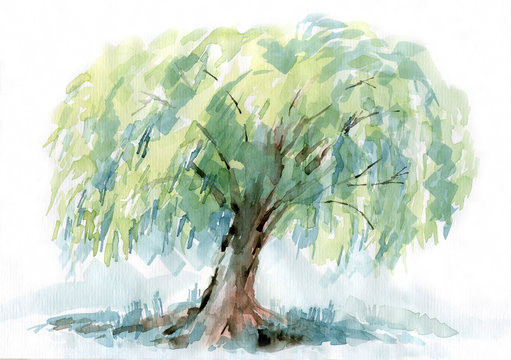 Willow watercolor drawing. Spreading branches, delicate color.
