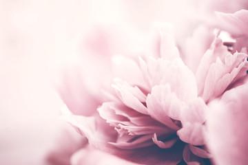 Obraz Closeup of pink peony flower, delicate background, soft focus. - fototapety do salonu