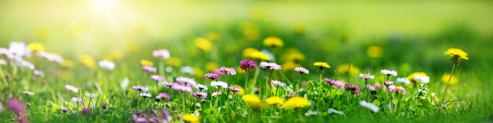 Fotobehang Bloemen Meadow with lots of white and pink spring daisy flowers and yellow dandelions in sunny day