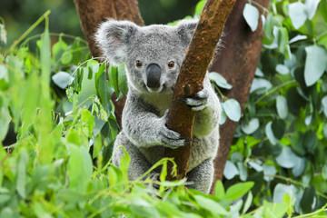 Aluminium Prints Koala koala en su rama