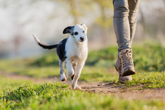 mixed breed puppy runs with a person on a field path