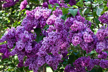 Photo sur Aluminium Lilac A branch of a flowering flowers lilac