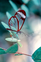 Tuinposter Vlinder Glasswing Butterfly (Greta oto) in a summer garden