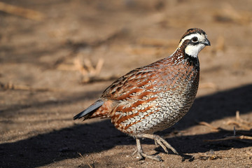 Northern Bobwhite Quail Rooster