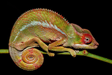 panther chameleon in natural habitat, Furcifer pardalis,in rainforest at Farankaraina national park forest, Madagascar wildlife.