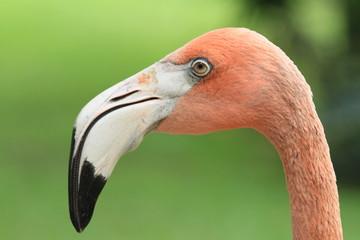 In de dag Flamingo flamingo, bird, pink, animal, beak, nature, zoo, wildlife, tropical, neck, head, eye, red, closeup, orange, feather, wild, feathers, flamingos, beautiful, exotic, fauna, Florida