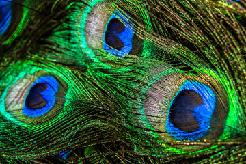 In de dag Pauw Beautiful and colorful peacock feathers in closeup