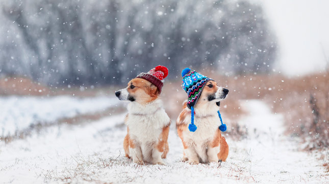 two cute identical brother puppy red dog Corgi they sit next to each other in the Park on a walk on a winter day in funny warm knitted hats during a heavy snowfall and look in different directions