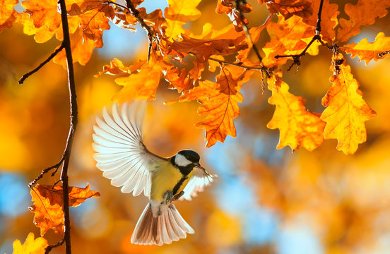 beautiful little bird tit flies in the autumn clear Park by the branch of an oak with Golden foliage on a Sunny day