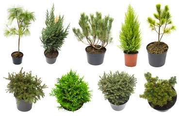 Super collection conifers of junipers, thuja, pine, cypress, spruce, fir isolated on white background. Beautiful decorative Christmas trees. Flat lay, top view Wall mural