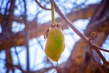 Keuken foto achterwand Baobab Green baobab fruit hanging on a tree in Senegal, Africa.