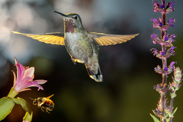 Hummingbird and bumblebee hovering around flowers