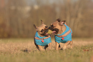 Action shot of two French Bulldog dogs wearing matching blue  sweaters running towards camera while holding ball toy together in mouth