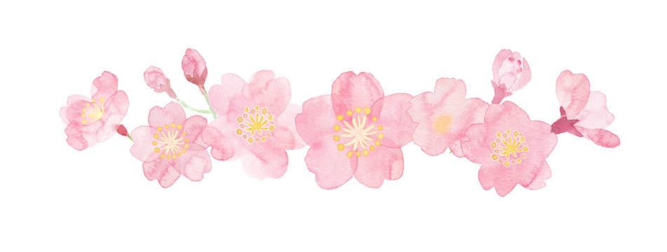 Watercolor illustration of cherry blossoms painted by hand
