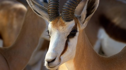 Spoed Foto op Canvas Antilope Here in the image we see a very beautiful antelope in Africa and she enjoys the fresh air.