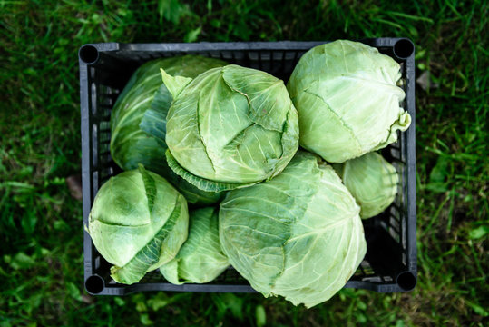 Harvesting cabbage. Fresh cabbage in black box.