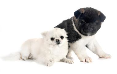 Fototapete - puppy american akita and chihuahua