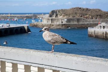 Seagull on Wall, Cudillero; Asturias